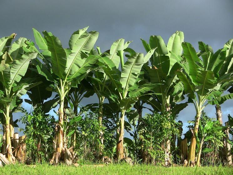 Banano alberi da frutto coltivazione banane - Pianta banano ...