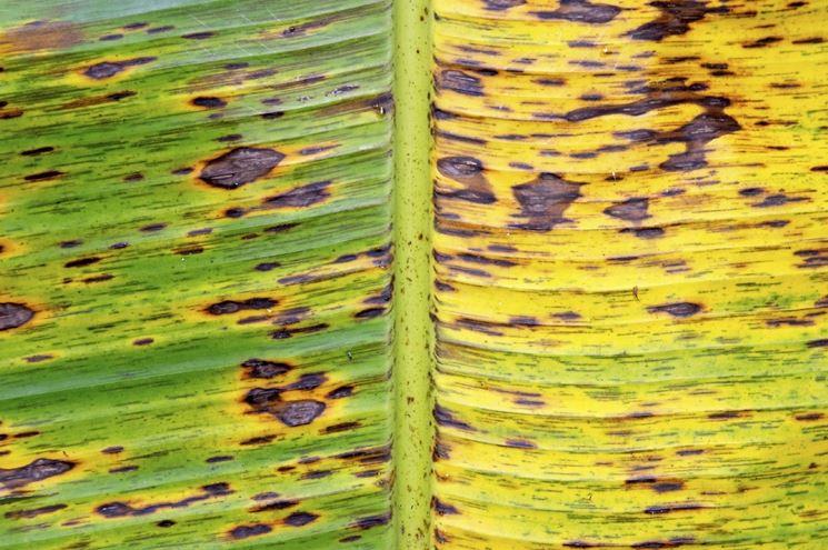 Foglie banano marciume rizoma