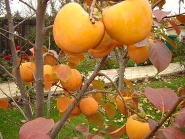 albero di caco vaniglia