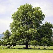 albero di castagno