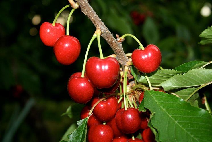 Ciliegie di vignola alberi da frutto vignola ciliegie for Pianta nocciolo prezzo