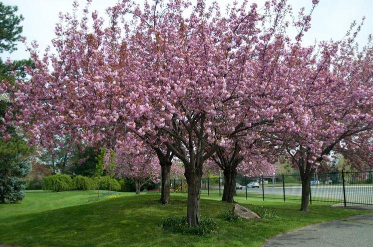 ciliegio giapponese alberi da frutto coltivare ciliegio
