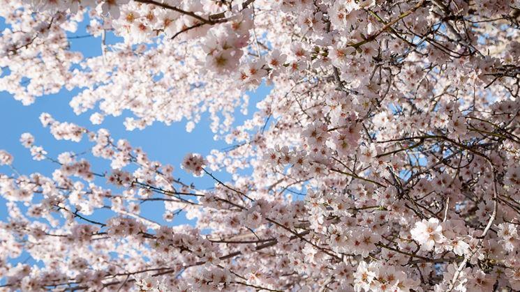 Coltivazione ciliegio giapponese