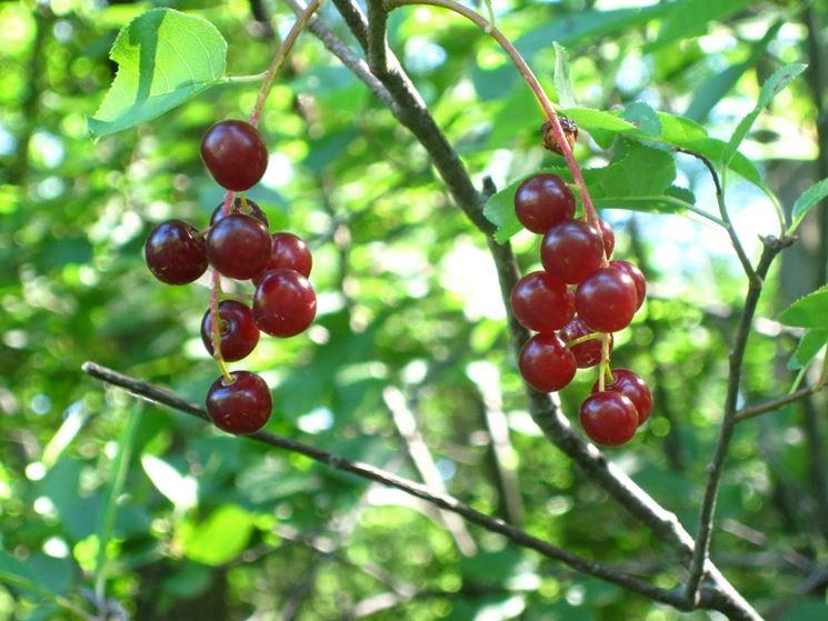 Ciliegio selvatico alberi da frutto coltivare ciliegie for Pianta di ciliegio