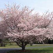Ciliegio variet alberi da frutto variet di ciliegio for Pianta di ciliegio