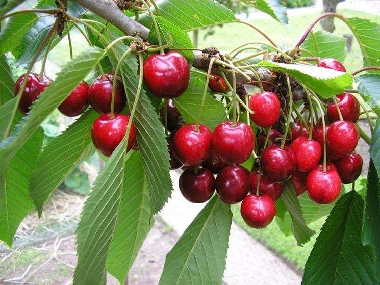 Ciliegio alberi da frutto come coltivare il ciliegio for Albero ciliegio