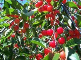 Ciliegio alberi da frutto come coltivare il ciliegio for Pianta di ciliegio