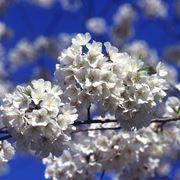 albero ciliegio