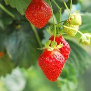 Coltivazione di fragole nel Regno Unito