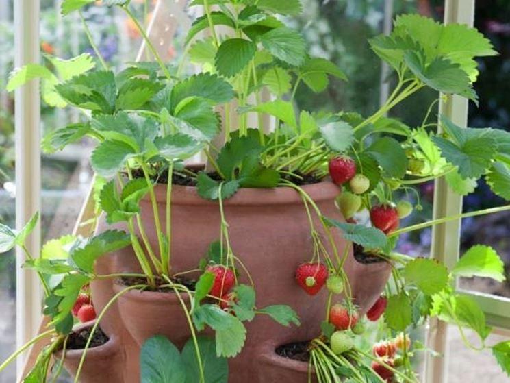 Coltivare fragole alberi da frutto come coltivare le for Alberi da frutto in vaso