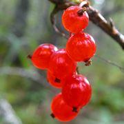 frutti di bosco coltivazione