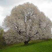 Albero di ciliegio fiorito