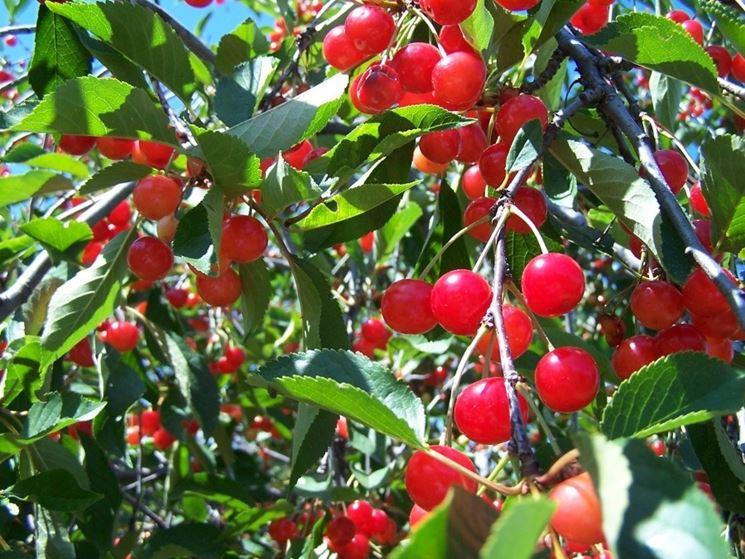 Un ramo di ciliegio con frutti
