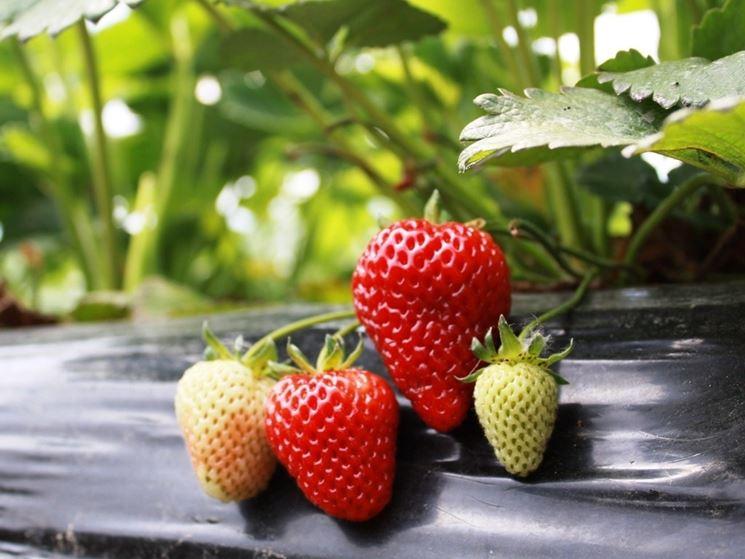Una pianta di fragole