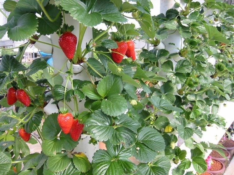Fragole in coltura idroponica