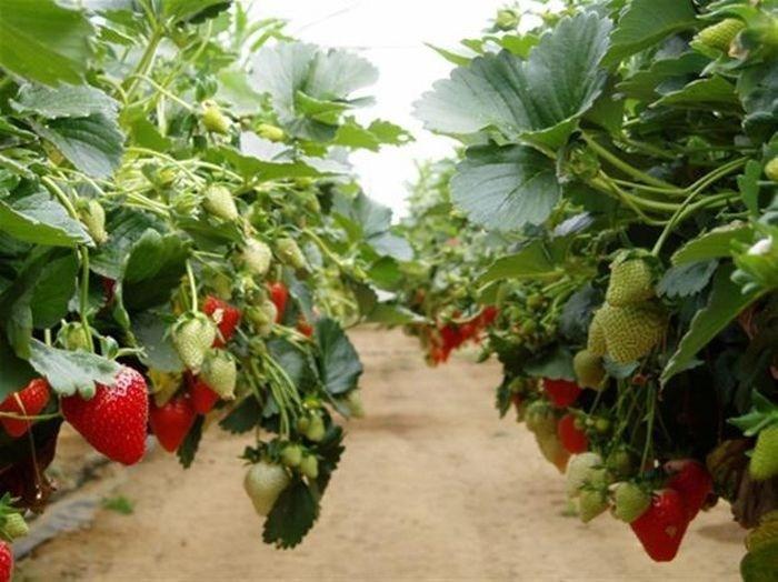 Come coltivare le fragole: la coltivazione idroponica