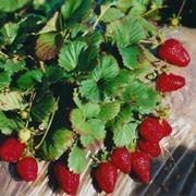 piantare le fragole