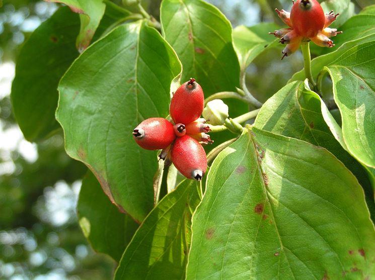 Corniolo alberi da frutto coltivare corniolo for Quando piantare alberi da frutto