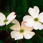corniolo fiore