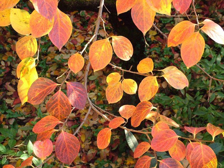 Le bellissime foglie rosse del kaki in autunno