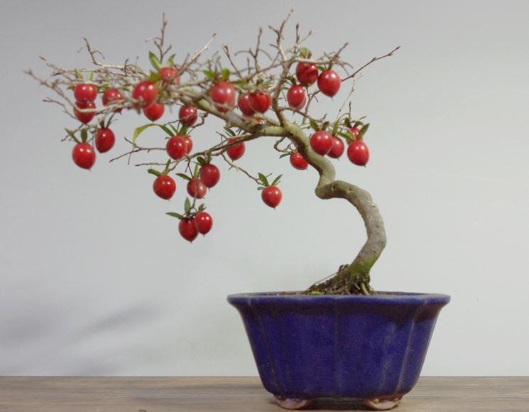 Pianta di kaki lavorata a bonsai