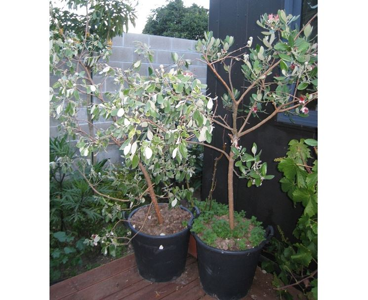 Arbusto feijoa frutto