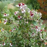 feijoa alberi da frutto frutto feijoa