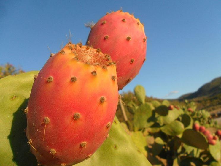 Concime Per Piante Da Frutto : Fichi d india frutto alberi da caratteristiche