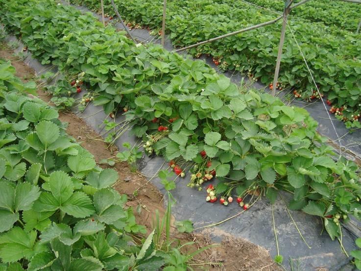 Fragole coltivazione alberi da frutto come coltivare for Pianta di fragole