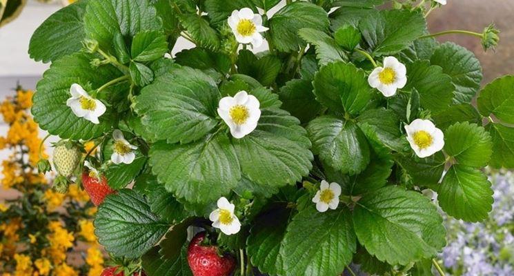 Fragole in fioritura