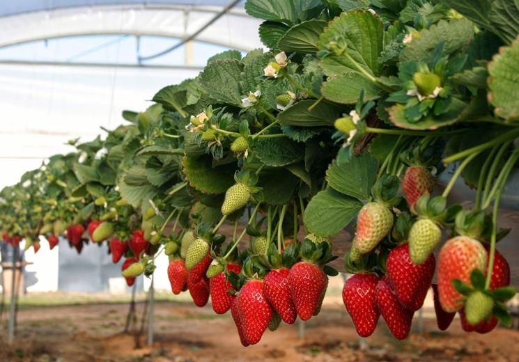 Fragole rampicanti alberi da frutto caratteristiche for Pianta di fragole