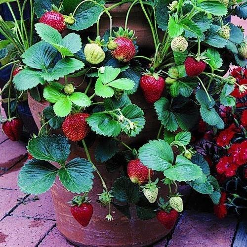 Fragole rampicanti alberi da frutto caratteristiche for Pianta fragole