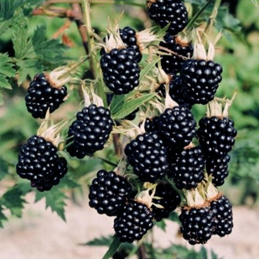 Frutti di bosco coltivazione: la mora frutti di bosco coltivazione: il