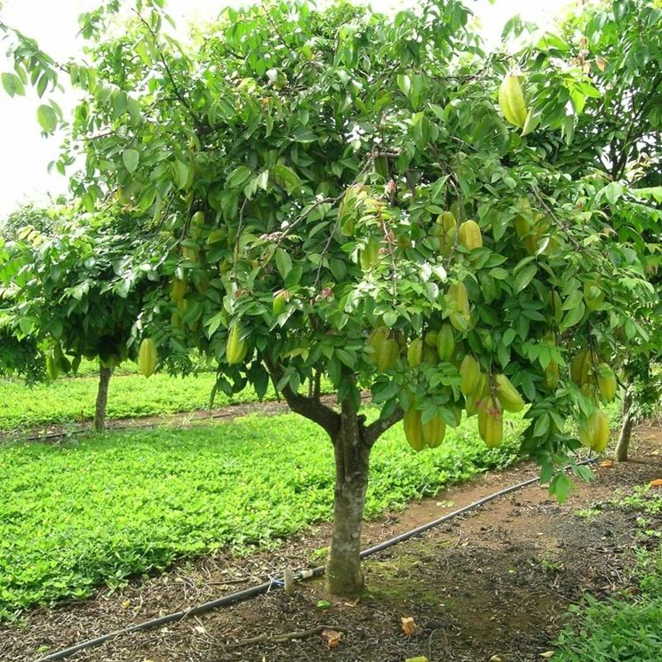 Frutti esotici alberi da frutto caratteristiche dei for Albero da frutto nano