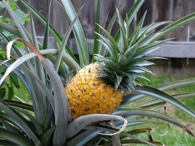 Pianta dell'ananas
