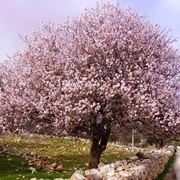 Un mandorlo in fiore