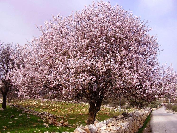 il mandorlo alberi da frutto coltivare il mandorlo