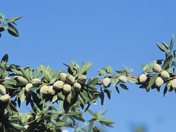 Frutti e fiori del mandorlo
