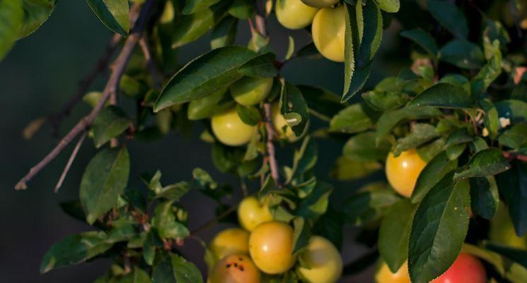 Frutti mirabolano