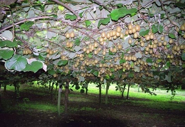 kiwi coltivazione alberi da frutto kiwi coltivazione. Black Bedroom Furniture Sets. Home Design Ideas
