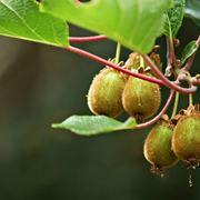 Kiwi coltivazione alberi da frutto kiwi coltivazione for Piante da frutto kiwi