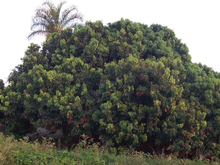 Un albero di Litchi