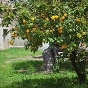 malattie foglie limone