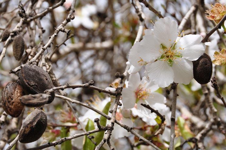 fiore e frutto mandorlo