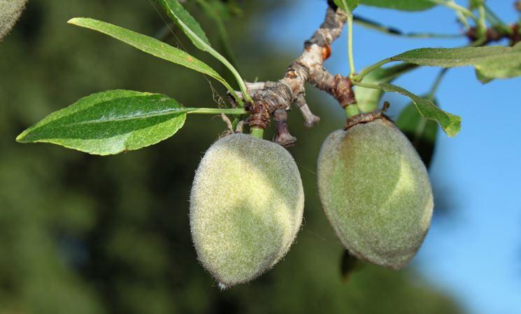 mandorlo frutto