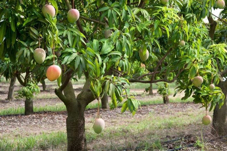 Mango alberi da frutto coltivare il mango - Alberi frutto giardino ...