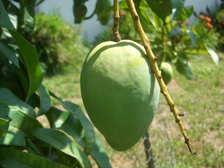 Mango alberi da frutto coltivare il mango for Albero da frutto nano