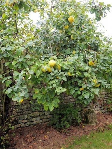 Coltivazione melo cotogno: esposizione ed irrigazione