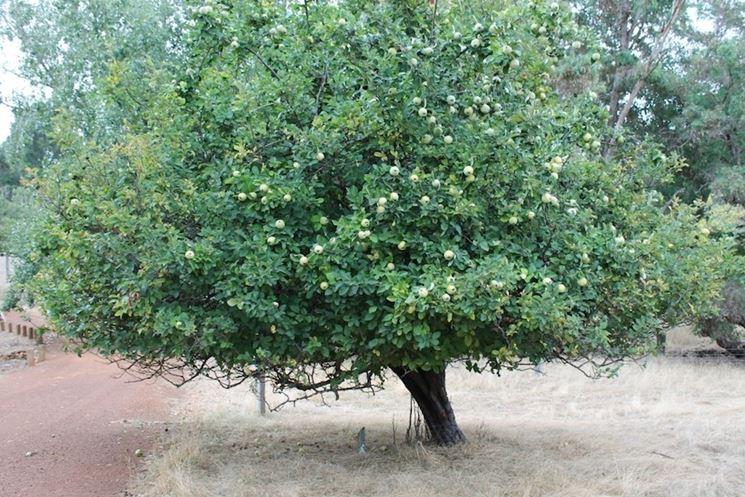 Un albero di melo cotogno