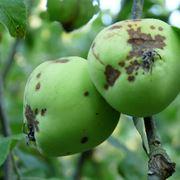 albero melo